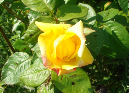 Det er have-tid, og roserne blomstrer
