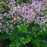 Violfrøstjerner hitter i haven