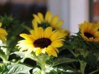 Sorø – kendt for blomster?